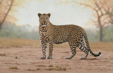 Anderson male leopard - Sabi Sand