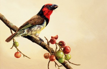 Black collared barbet on Figs
