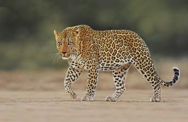 Kruger Park male Leopard