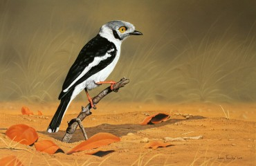 White helmet Shrike