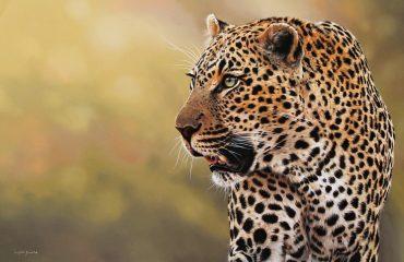 Tugwaan male leopard