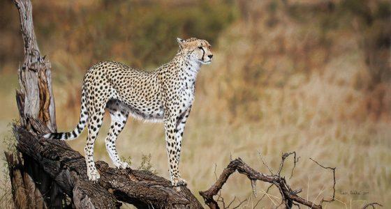 Leon_Cheetah_1800