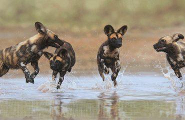 Leon_Fouche_African_wild_dogs_1800 zz