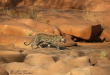 Leopard_Red_rocks