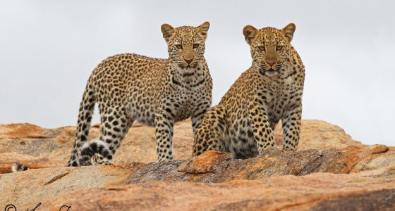 Leopard_cubs_Pretoriuskop