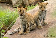 Leopard_cubs_at_Pretoriuskop