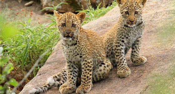 Leopard_cubs_at_Pretoriuskop