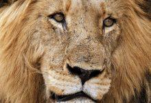 Lion_Sirheni_male
