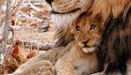 Lion_and_cub_Shingwedzi