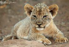 Lion_cub_Shingwedzi