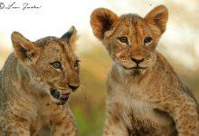 Lioness_cubs_Zimanga_4
