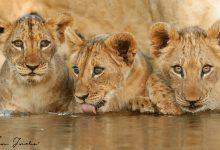 Lioness_cubs_Zimanga_6