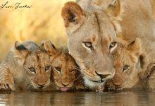 Lioness_cubs_Zimanga_7