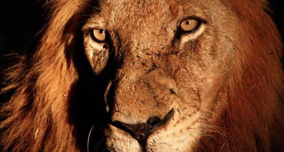 Mr_T_Mapogo_Lion