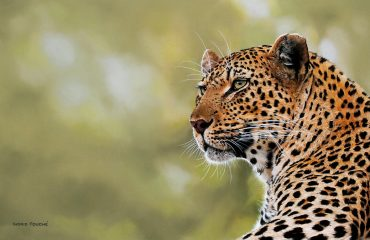 Mashaba_female_Leopard