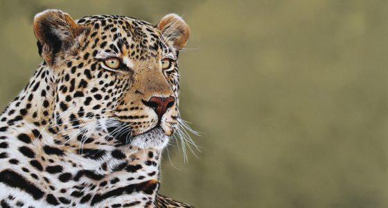 Piva_male_Leopard