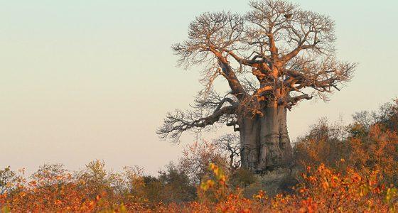 Leon_Fouche_baobab_tree_kruger_mopani