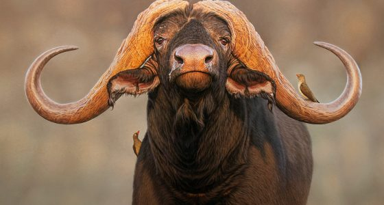 Leon_Buffalo_bull_1920
