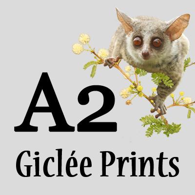 A2 Giclée prints