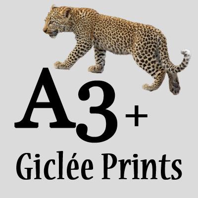 A3+ Giclée Prints